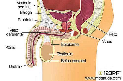 Warum dient die Prostata? - de.imevictoria.com